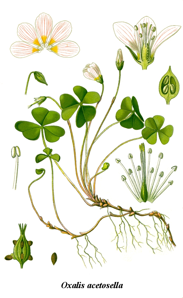 Cleaned-Illustration_Oxalis_acetosella